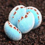 Caliente-venta! 200pcs Promoción / bolsa raras mini azul Lithops semillas semillas suculentas...