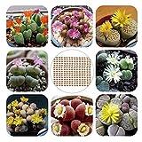 Oce180anYLVUK Lithops Seeds, 200 Piezas Bolsa Lithops Seeds Fácil Cuidado Planta Perenne Plantas...